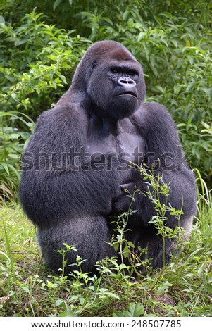 Gorilla in foliage with sweat on chest - stock photo