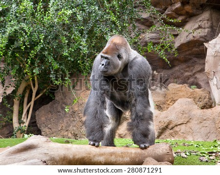 gorilla in the zoo Loro Parque, Tenerife - stock photo