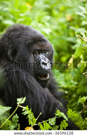 Gorilla in Volcano National Park in Rwanda - stock photo