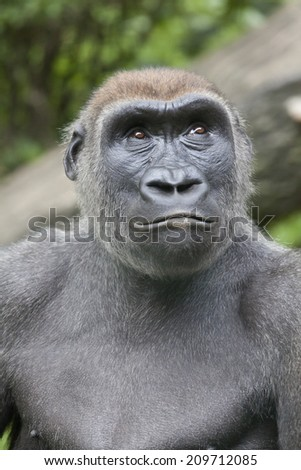 Gorilla is a powerfully built great ape with a large head and short neck, found in the forests of central Africa.