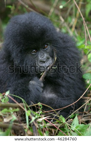 gorilla juvenile - stock photo