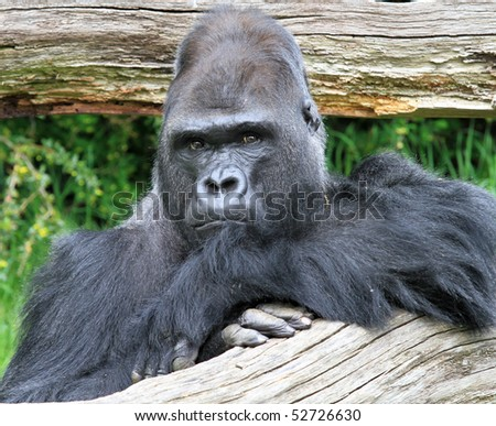 Gorilla looking straight at the camera - stock photo
