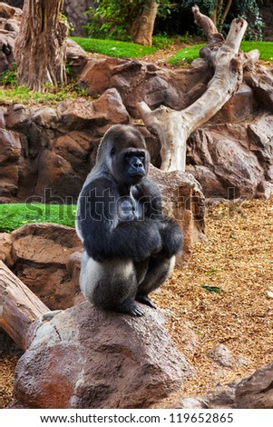 Gorilla monkey in park at Tenerife Canary - animal background - stock photo