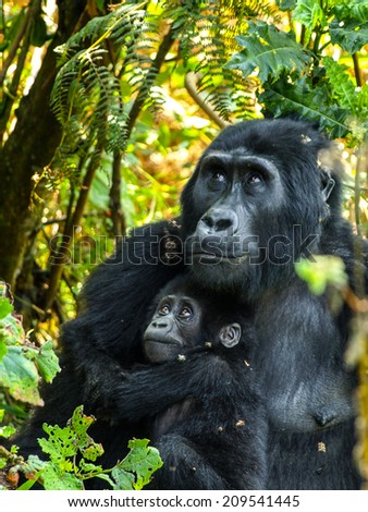 Gorilla mother and her baby in the bush of Uganda - stock photo