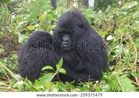 Gorilla mother and her baby sitting in bush at Volcanoes National Park, Rwanda - stock photo