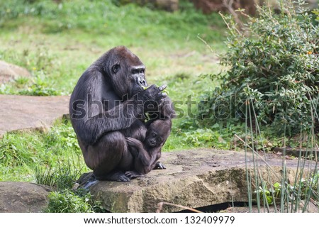 Gorilla mother eats while her young curious sees