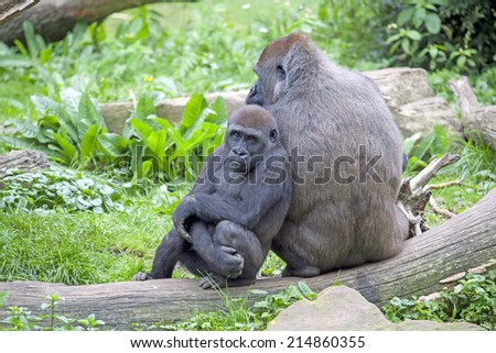 Gorilla mother with her child