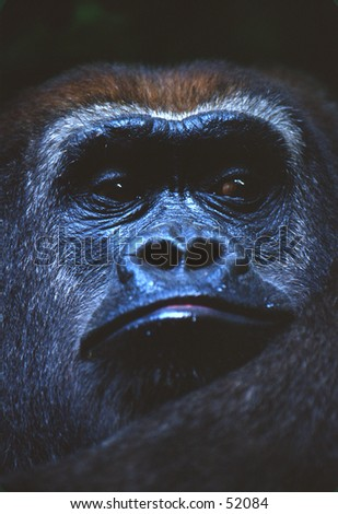 Gorilla Portrait - stock photo