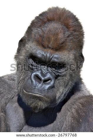 Gorilla portrait in white background. Vertical - stock photo