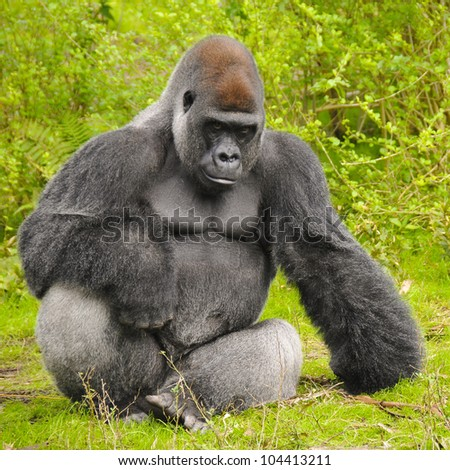 Gorilla Posing - stock photo
