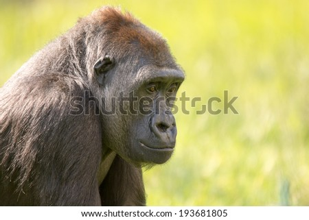 Gorilla resting in the sun on the grass
