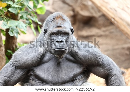 Gorilla - silverback gorilla looking at camera. - stock photo