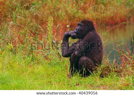 Gorilla sitting in the high grass in the near of the water
