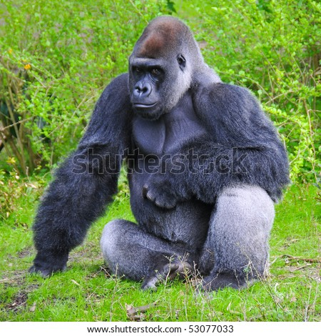 Gorilla Stares at the Camera - stock photo