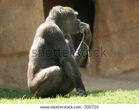Gorilla thinking - stock photo