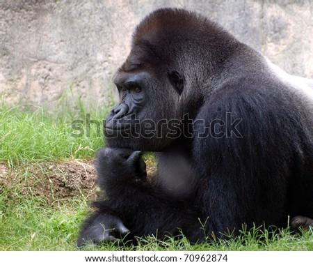 Gorilla Thinking - stock photo