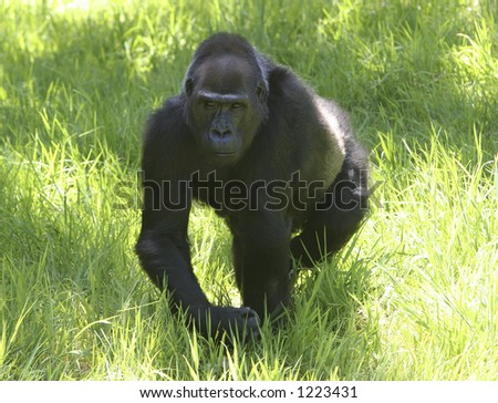 Gorilla walking - stock photo