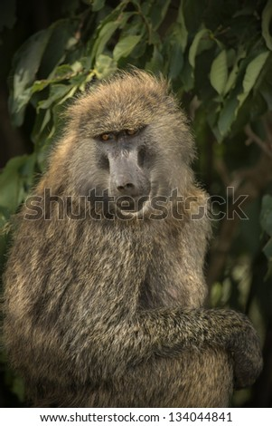 gorilla with green background wild - stock photo