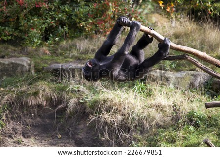 Gorilla youngster is playing - stock photo