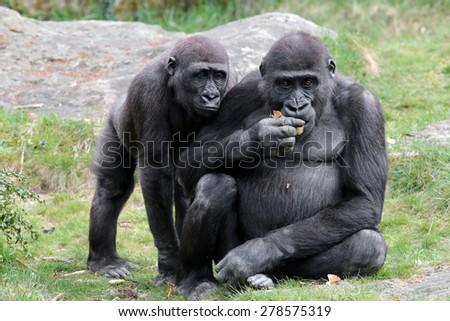 Gorillas - stock photo