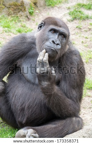 Gorillas are the largest extant genus of primates by size - stock photo