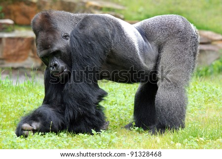 Gorillas are the largest extant species of primates. They are ground-dwelling, predominantly herbivorous apes that inhabit the forests of central Africa. - stock photo