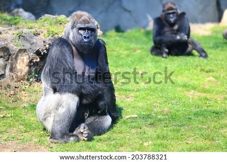 Gorillas family resting on the grass - stock photo