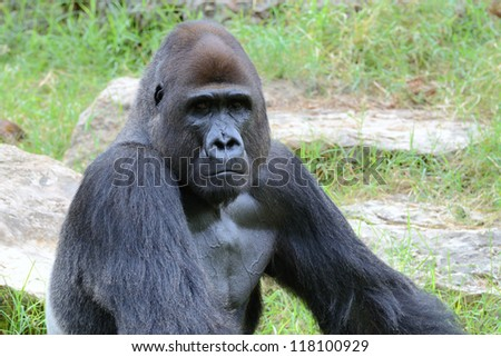 Gorillas  the largest extant genus of primates by size, that inhabit the forests of central Africa. - stock photo