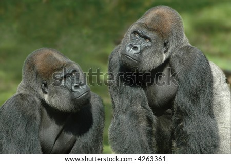 Gorillas thinking of something - stock photo
