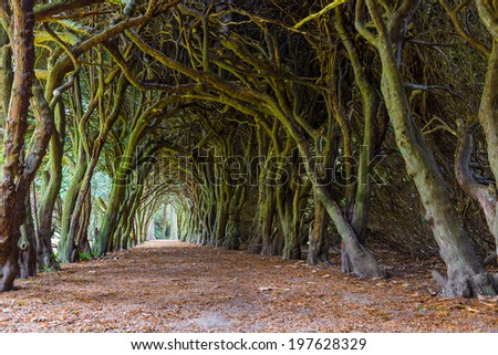 GORMANSTON, IRELAND - SEPTEMBER 29, 2013: Tunnel of intertwined Yew trees or Taxus baccata. Taxus baccata is a conifer native to western, central and southern Europe. - stock photo