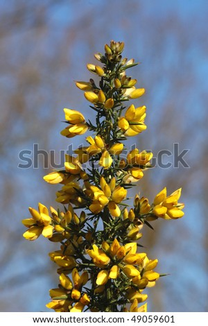 Gorse Flower on an English Heath - stock photo