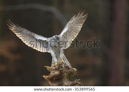 goshawk is landing - stock photo