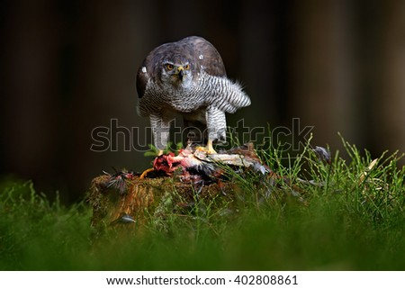 Goshawk kill Common Pheasant on the grass in green forest, bird of prey in the nature habitat, action feeding scene in dark forest, animal from Russia - stock photo