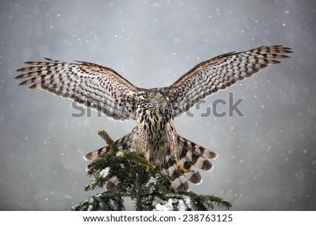 Goshawk landing on spruce tree during winter with snow - stock photo