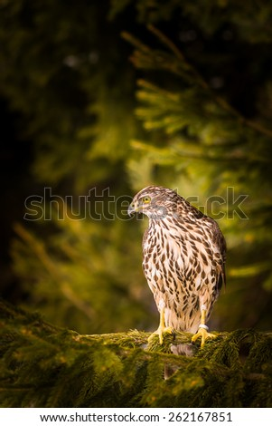 Goshawk predator watching its prey - stock photo