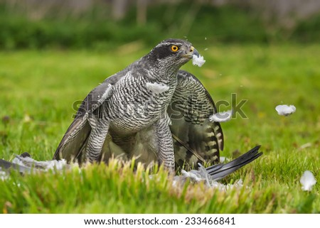 Goshawk sends the feathers flying. As it plucks its pigeon prey a magnificent male goshawk sends the feathers flying.blue head,golden eye,hooked beak - stock photo
