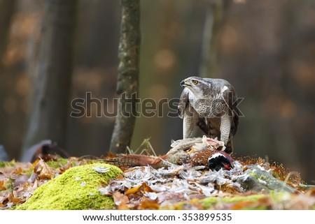 goshawk with hunted pheasant - stock photo