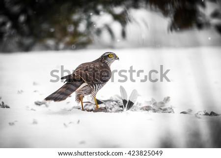 Goshawk with prey - stock photo
