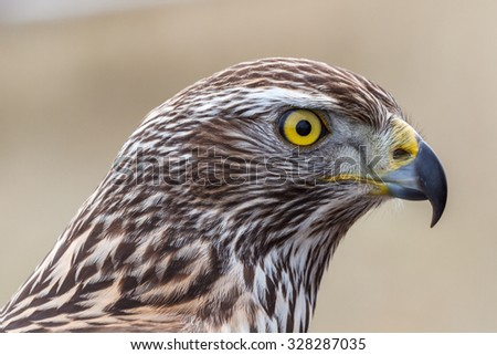Goshawk young head. Accipiter gentilis. Falconry.