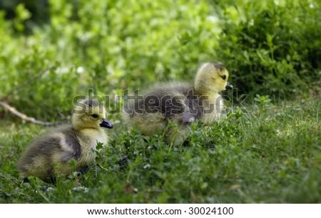 Gosling - Canada Goose - stock photo
