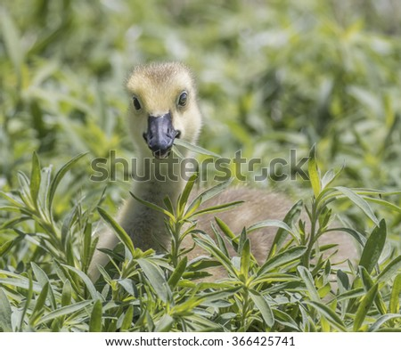 Gosling in the Grass - A newborn Canada Goose gosling is eating a blade of grass and being very cute.  - stock photo