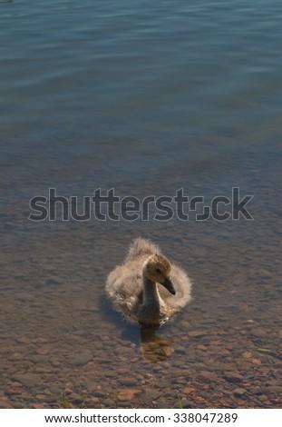 Gosling of Canada goose (Branta canadensis) in water. - stock photo