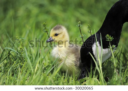 Gosling with Mother - Canada Goose - stock photo