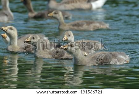 Goslings (geese) - stock photo