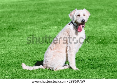 Got Tongue ~ Humorous Golden Labradoodle Sitting On Green Grass With Tongue Sticking Out - stock photo