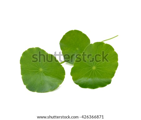 Gotu kola isolated on  white background - stock photo