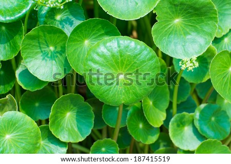 gotu kola leaves - stock photo