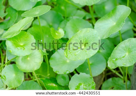 gotu kola leaves Centella - stock photo