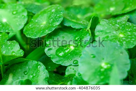 gotu kola leaves with water drops, natural background - stock photo