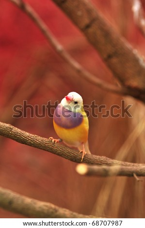 Gouldian Finch colorful bird - stock photo